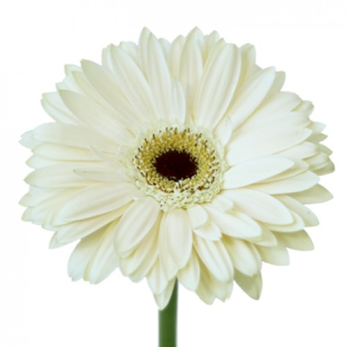 Gerbera, White