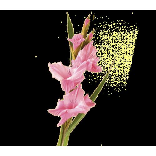 Gladiolus, Light Pink