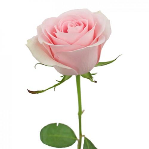 Rose, Baby Pink