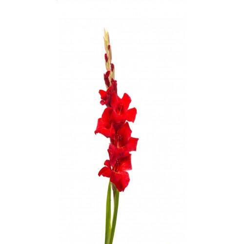 Gladiolus, Red